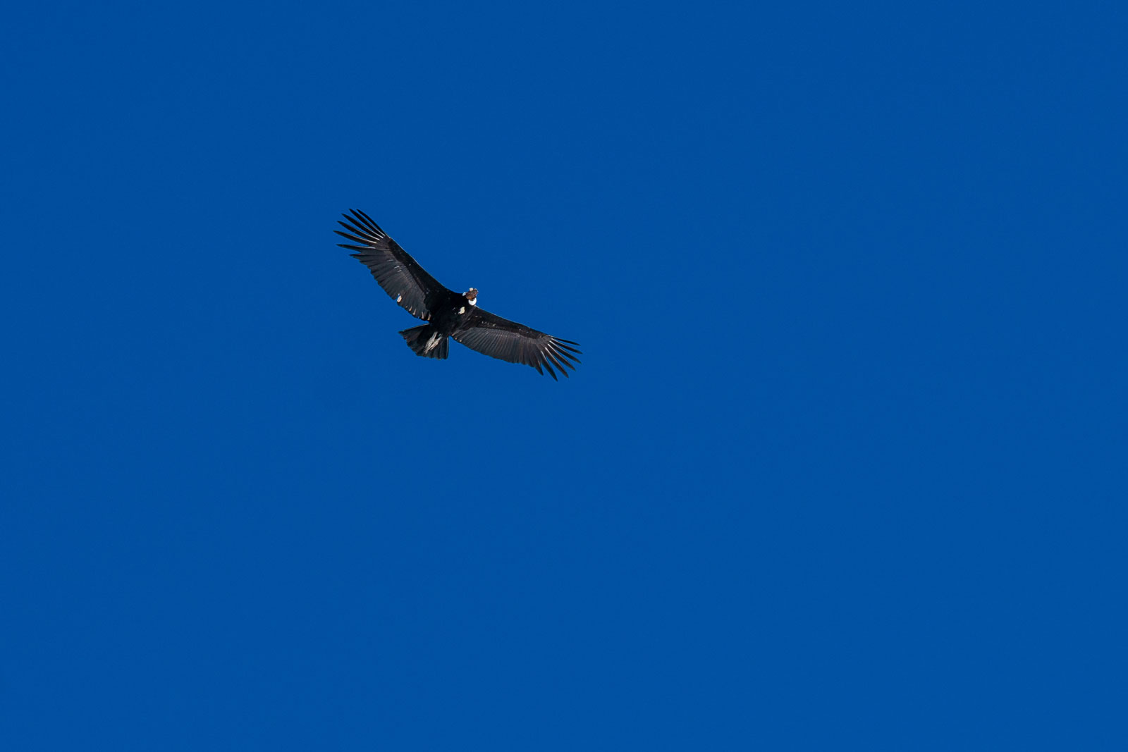 Condor doing a fly by. Photo Courtesy: Ben Girardi- Adventure in Argentina